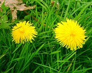 Colorful Dandelions Photos - Dandy Dandelions by Valerie Bruno