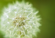 Depth Of Field Photos - Dandy by Scott Norris