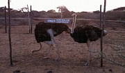 Ostrich Photos - Danger by Terry  Stokely