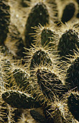 Forbidding Framed Prints - Dangerous And Painful Prickly Pear Framed Print by Jason Edwards