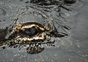 Gator Prints - Dangerous Stalker Print by Carolyn Marshall
