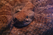 Rattlesnake Photos - Dangerously Handsome by Linda Knorr Shafer