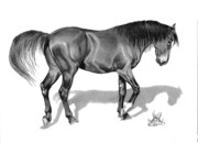 Horse Drawing Prints - Dark Bay Thoroughbred Colt Print by Cheryl Poland