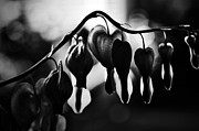 Bleeding Hearts Photos - Dark Bleeding Hearts by Larysa Luciw
