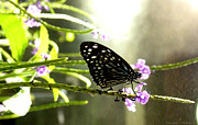 Ebsq Photo Prints - Dark Blue Tiger Butterfly in the Rain Print by Kimmary I MacLean