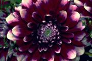 Dahlias - Dark Dahlia by Cathie Tyler