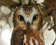 Owlet Prints - Dark Eyes - Saw-whet Owl Print by Tony Beck