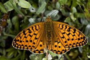 Dark Green Fritillary Butterfly Print by Dr Keith Wheeler