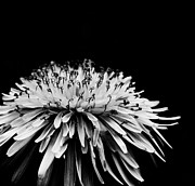 Black And White Floral Art - Dark by Kristin Kreet