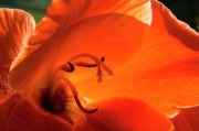 Gladiolus Photos - Dark Orange Beauty by Thomas R Fletcher