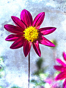 Flower Photos - Dark Pink Dahlia on Blue by Carol Leigh