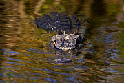Gator Metal Prints - Dark Water Predator Metal Print by Mike  Dawson