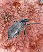 Inger Hutton Metal Prints - Darkling Beetle Metal Print by Inger Hutton