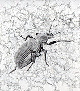 Inger Hutton Metal Prints - Darkling Bug Metal Print by Inger Hutton