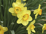 Margaret Sjoden - Darling Daffodils