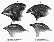 Diagram Art - Darwin: Galapagos Finches by Granger