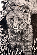 Wildlife Drawings Drawings Prints - Darwins Fox Close Up Print by Carmen Del Valle