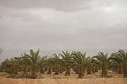 Date Palm Trees In An Orchard Print by Taylor S. Kennedy