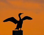 Phalacrocorax Auritus Photos - Dawn of a Double-crested Cormorant  by Tony Beck