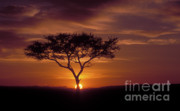 Tree. Acacia Posters - Dawn on the Masai Mara Poster by Sandra Bronstein