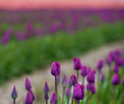 Skagit Valley Posters - Dawn Tulips Poster by Mike Reid