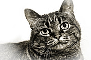 Tabby Cat Photos - Day Dreamer by Andee Photography