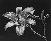 Diane Cutter Drawings - Day Lily by Diane Cutter