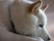 Japanese Dog Photos - Daydreamer by Stuart Turnbull