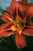 Daylily Photos - Daylily - One Day Is Not Enough by Marjorie Imbeau