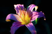 Tamyra Ayles - Daylily Glow