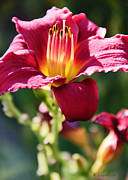 Daylily Photos - Daylily by Kerri Ligatich