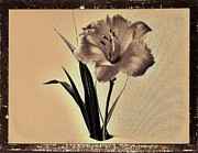 Brown Tones Digital Art Framed Prints - Daylily of Old Framed Print by Marsha Heiken