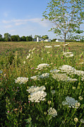 White Flower Photos - Days of Queen Annes Lace - Rural Scene by Suzanne Gaff