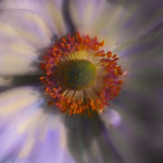 Flower Digital Art Originals - Dazie Eye by Joseph G Holland