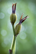 Going Green Prints - Dazzling Canna Seed Pods Print by Kathy Clark
