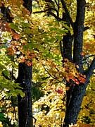 Maple Trees Prints - Dazzling Days Of Autumn Print by Will Borden