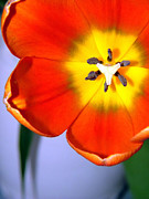 Tulip Pics Photos - Dazzling Orange Tulip  by Serena Bowles
