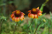 Phoenix Flowers Photos - Dbg 041012-0052 by Tam Ryan