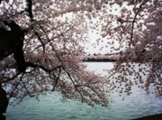 Cherry Blossoms Photo Prints - DC Cherry Blossoms Print by Joyce  Kimble Smith