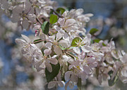 Cherry Blossom Prints - DC Greetings Print by Joan Carroll