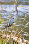Blue Heron Framed Prints - De Leon Springs Blue Framed Print by Deborah Benoit