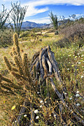 Desert Plants Photos - Dead Ocotillo by Peter Tellone