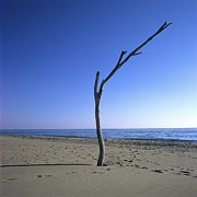 Loneliness Posters - Dead tree on a beach Poster by Bernard Jaubert