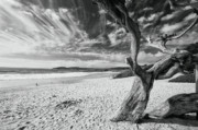 Dead Tree On The Beach Print by George Oze