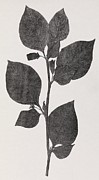 Belladonna  Photos - Deadly Nightshade, 19th Century Artwork by Middle Temple Library
