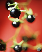 Medicinal Plant Posters - Deadly Nightshade Berries Poster by Lawrence Lawry