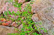 Peter J Sucy Metal Prints - Deadly Nightshade Creeping on Acadia Granite Metal Print by Peter J Sucy