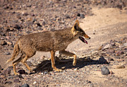 American Jackal Framed Prints - Death Valley Coyote Framed Print by Mike  Dawson