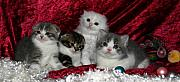 Scottish Folds Pyrography Metal Prints - December 2005 Metal Print by Robert Morin