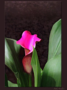 Deep Color Flower Framed Prints - Deep Calla Lily Framed Print by Debra     Vatalaro